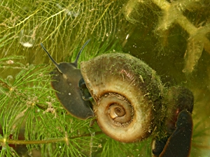 What Do Aquatic Snails Eat And Drink